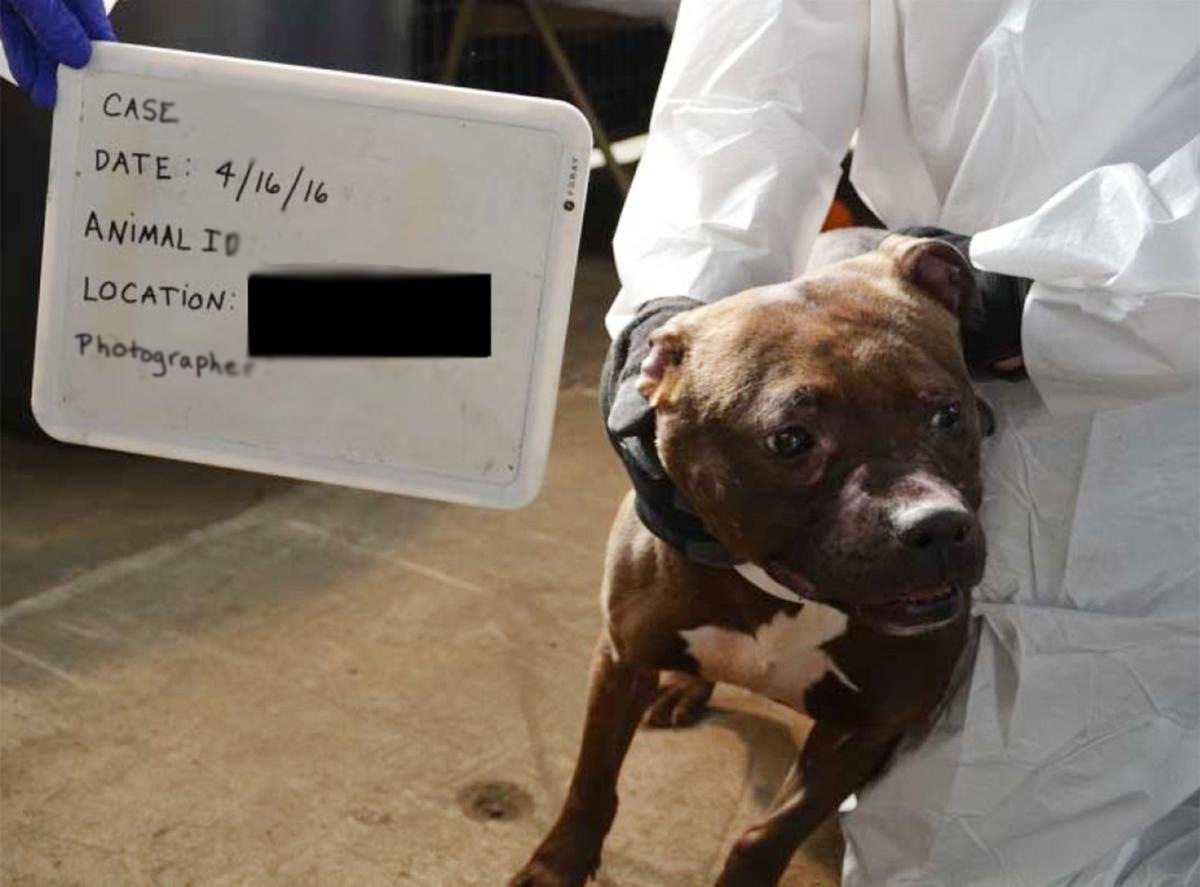 A pit bull terrier recovered during a 2016 operation against a dogfighting ring in Illinois had six puppies, who were put up for adoption in a timely manner thanks to civil forfeiture laws aimed at animal welfare.