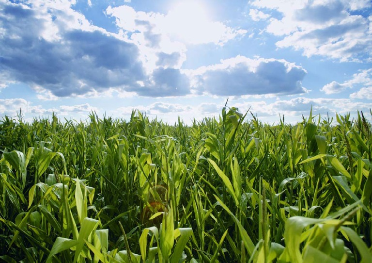 Corn Field (Stock)