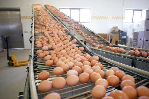Eggs on Factory Belt