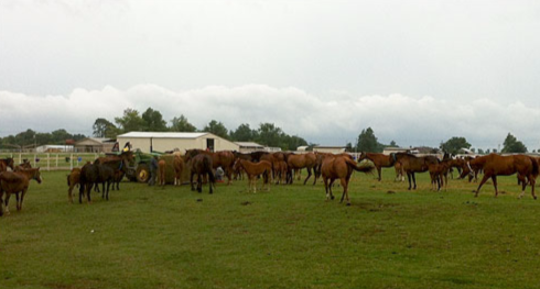 The government seized 455 horses at an Oklahoma horse farm that served as a money laundering front for a Mexican drug cartel leader.