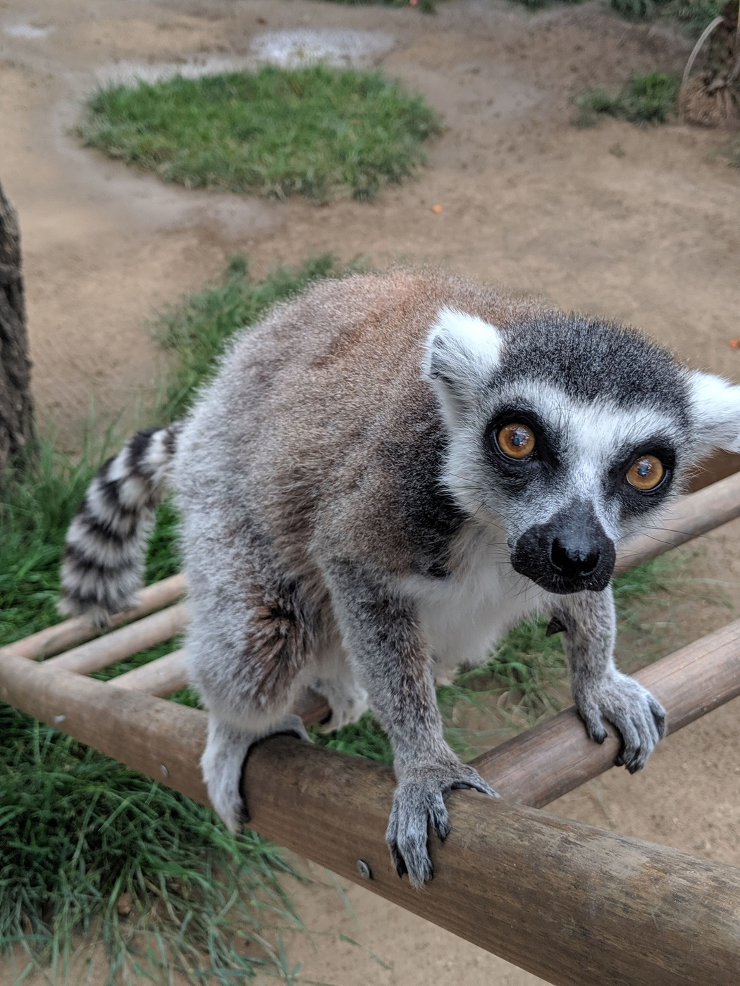 Isaac the Ring-Tailed Lemur (Santa Ana Zoo Photo)