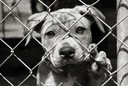Dog Fighting Ringleader Pleads Guilty