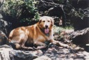 """Taj"" (golden retriever), 1996 photo. The dog was hiking with Julianne Williams and Laura Winans in Shenandoah National Park in Virginia in 1996. Both women were murdered."